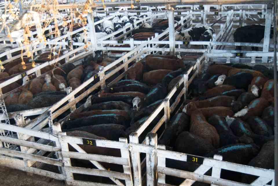 Carne de animal en masa: el holocausto alimenticio