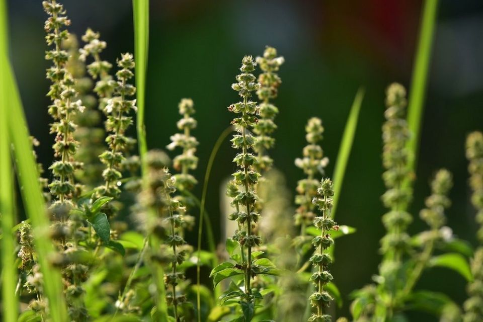 Las semillas de albahaca tienen beneficios en la salud
