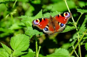peacock-butterfly-1655724_640