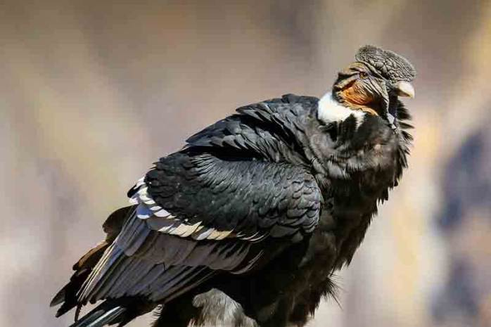 Andean condor (15000 Feet)