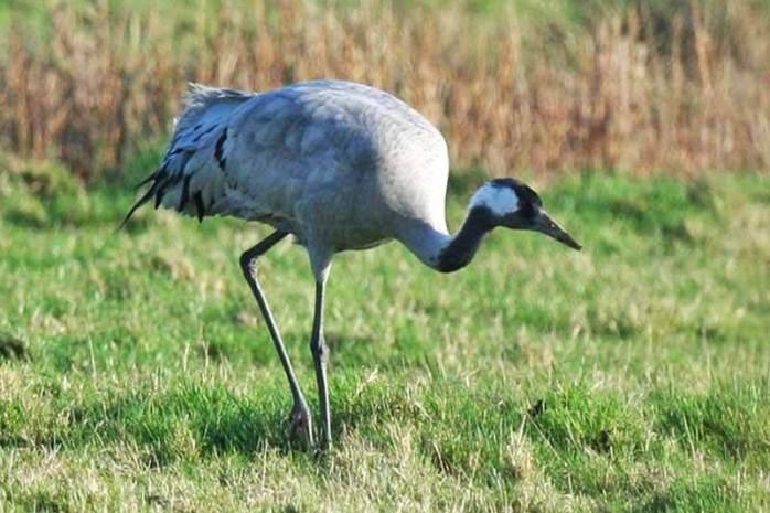 Common crane (33000 Feet)
