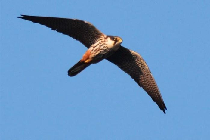 eurasian-hobby-bird