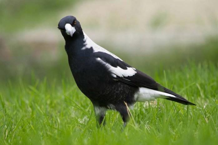 australian-magpie-dangerous-birds