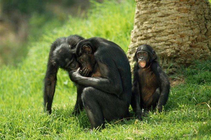 bonobo-chimpanzee-romantic-animals