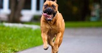 bullmastiff-dog