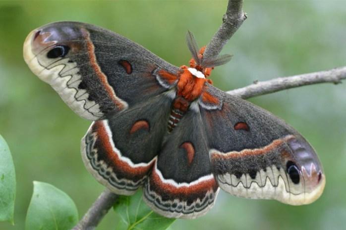 cecropia-moth