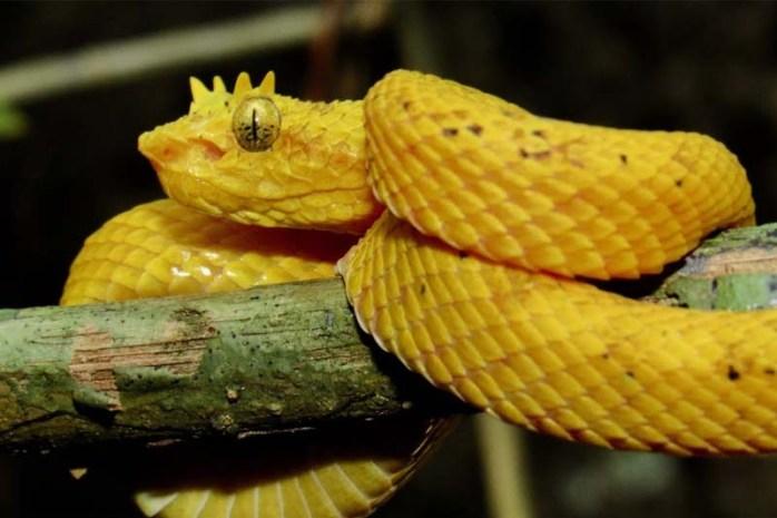 eyelash-viper