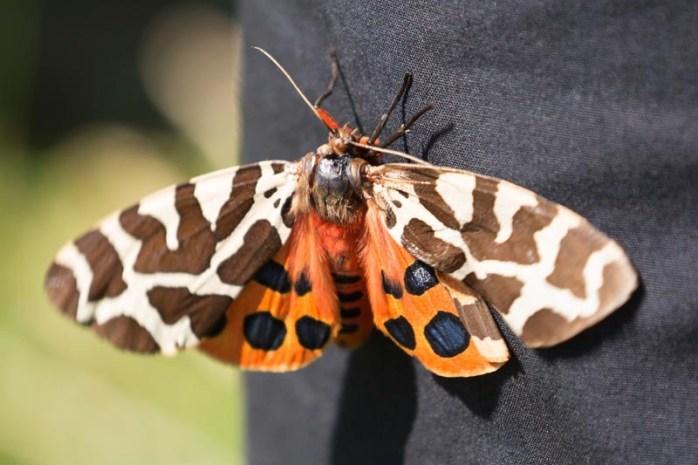 garden-tiger-moth