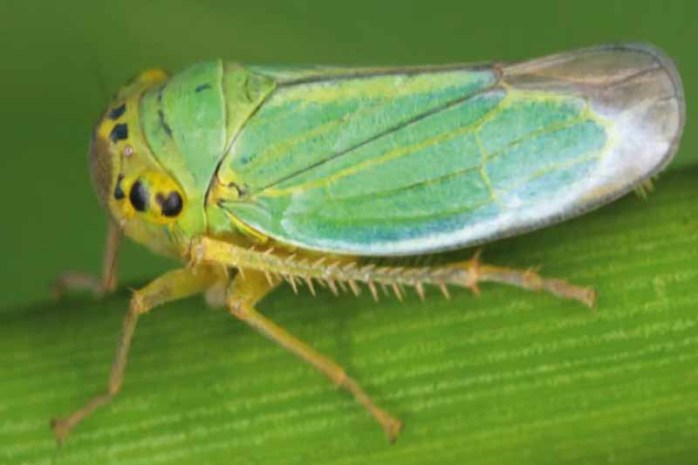 leafhopper-weirdest-insects