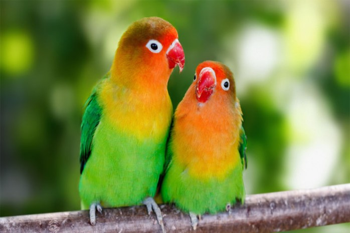 lovebirds-romantic-animals