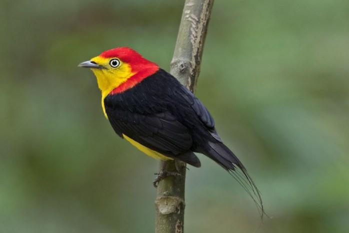 manakin-birds-romantic-animals