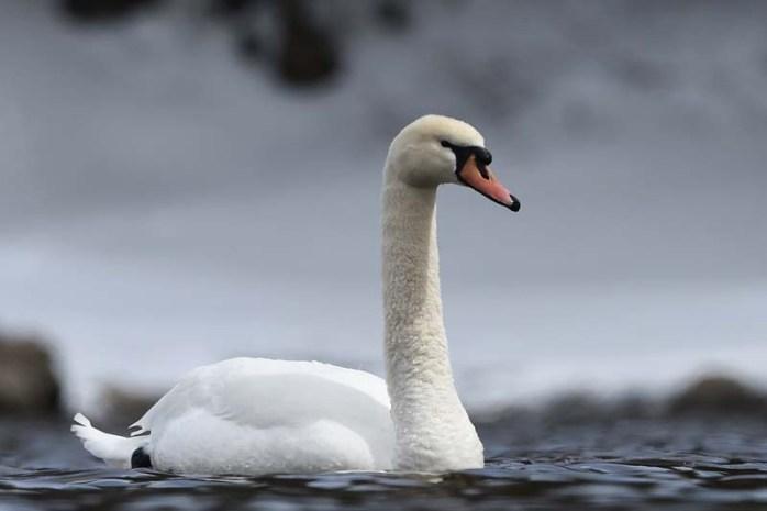 mute-swan-dangerous-birds