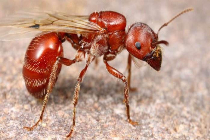 red-harvester-ant