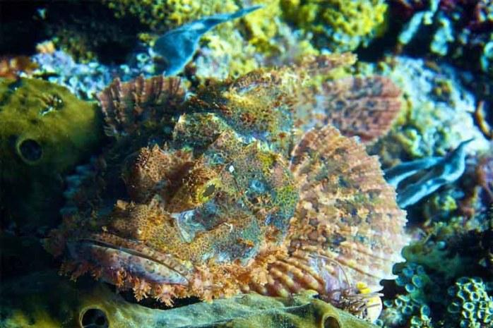 stone-fish