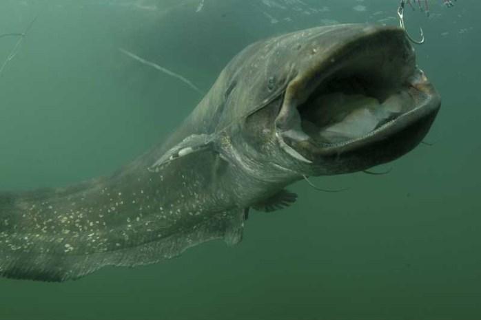 wels-catfish