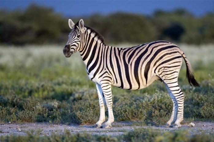 zebra-longest-gestation-period