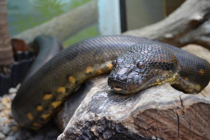 anaconda-non-venomous-snakes