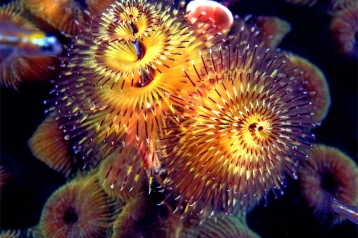 christmas-tree-worm