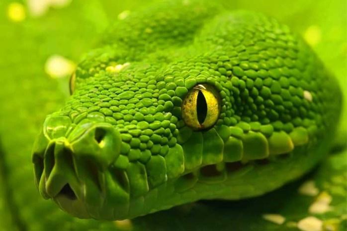 emerald-tree-boa