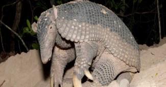 sleeping-giant-armadillo