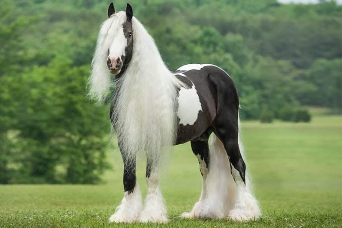 gypsy-horse