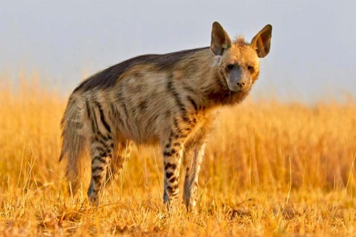 hyena-sharpest-animal-thieves