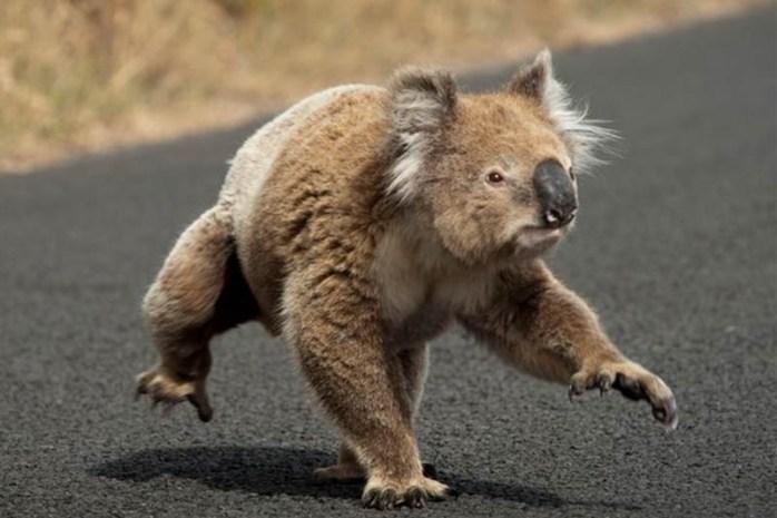 koala-bear