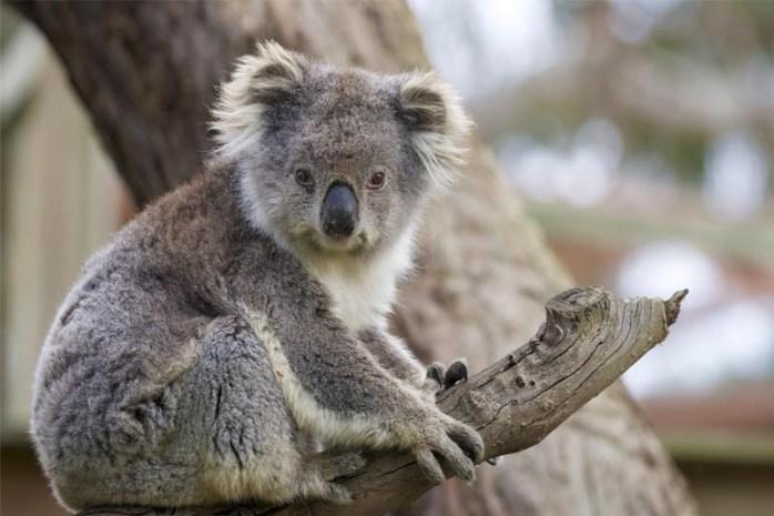 sleeping-koala