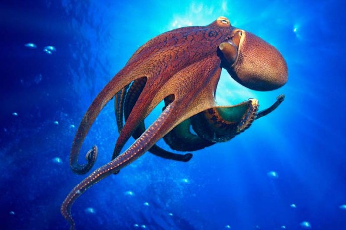 octopus-sharpest-animal-thieves