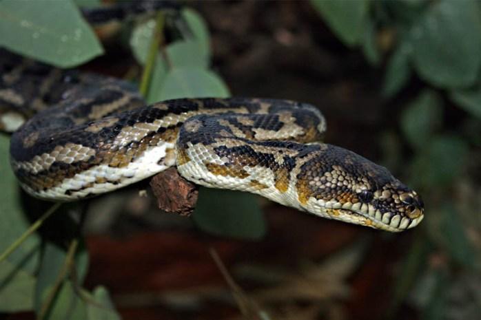 python-non-venomous-snakes