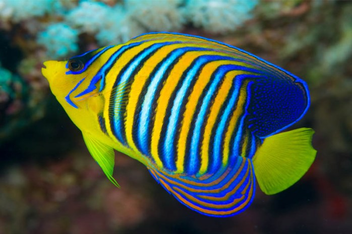 regal-angelfish