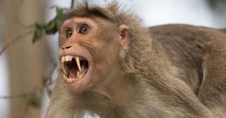 rhesus-macaque
