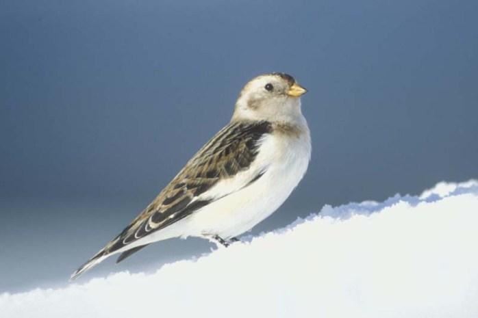snow-bunting