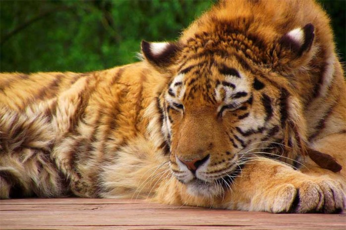 sleeping-tiger