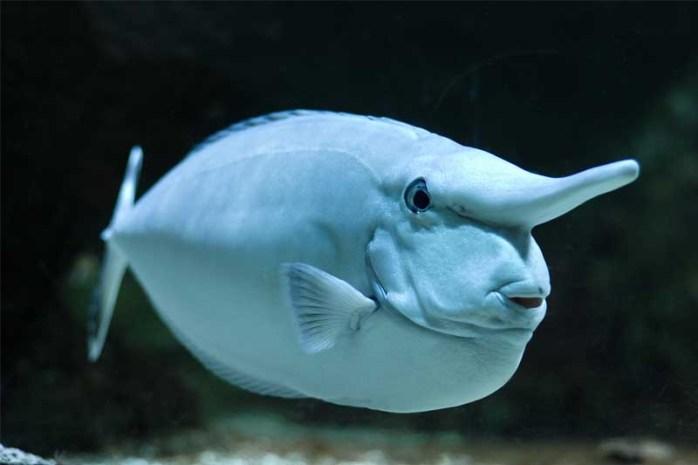 short-nosed-unicornfish