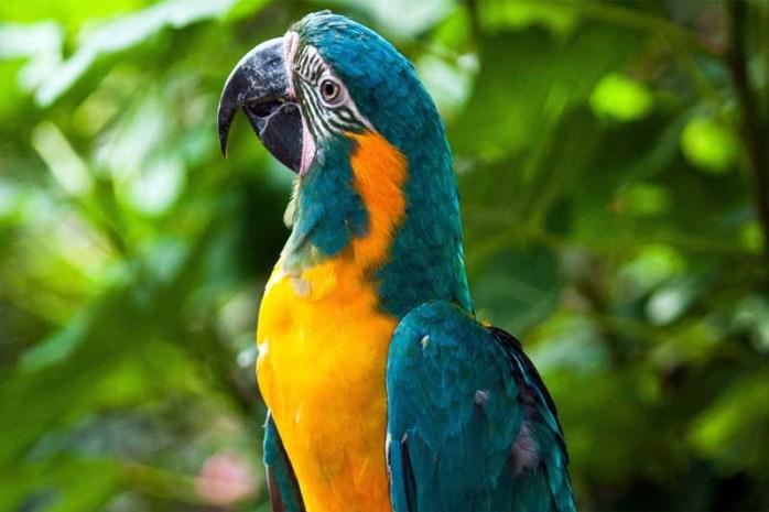 blue-throated-macaw
