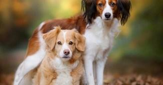 Brittany-dog