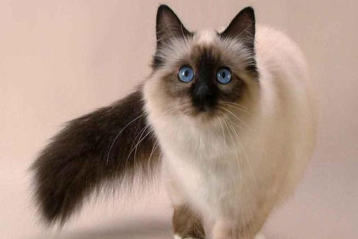 balinese-cat-breed