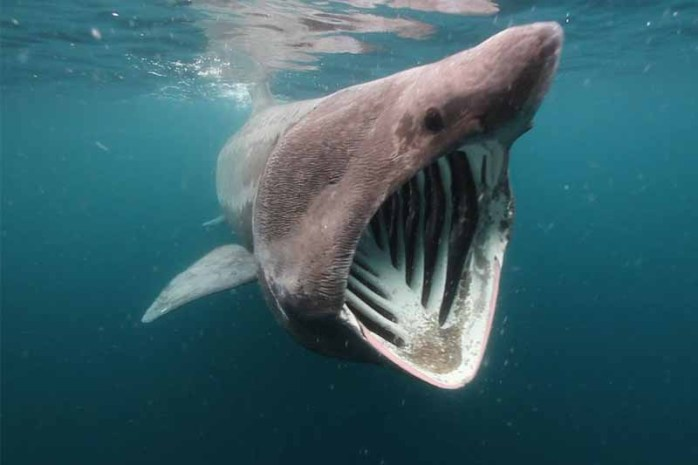 basking-shark