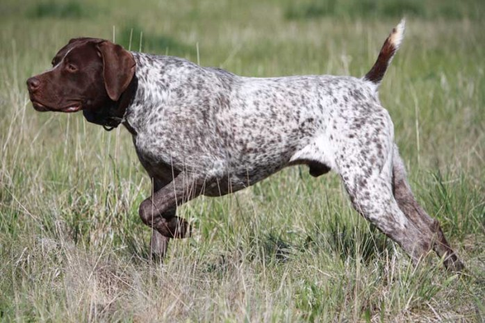 german-short-haired-pointer