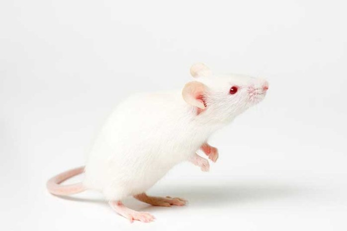 Mouse-domestic-white