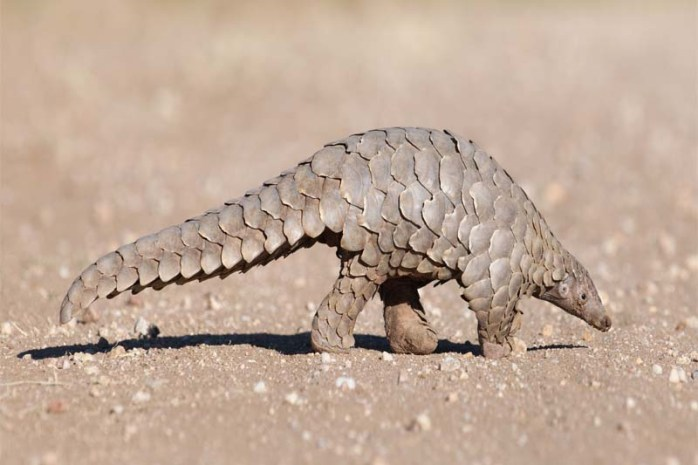 pangolins and anteaters