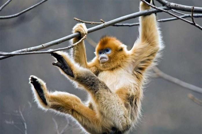 golden-snub-nose-monkey