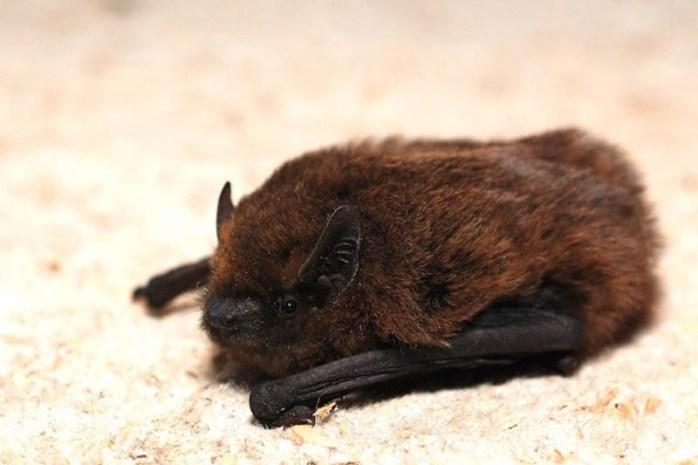 pygmy-pipistrelle