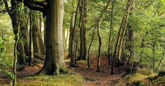 beech-forest
