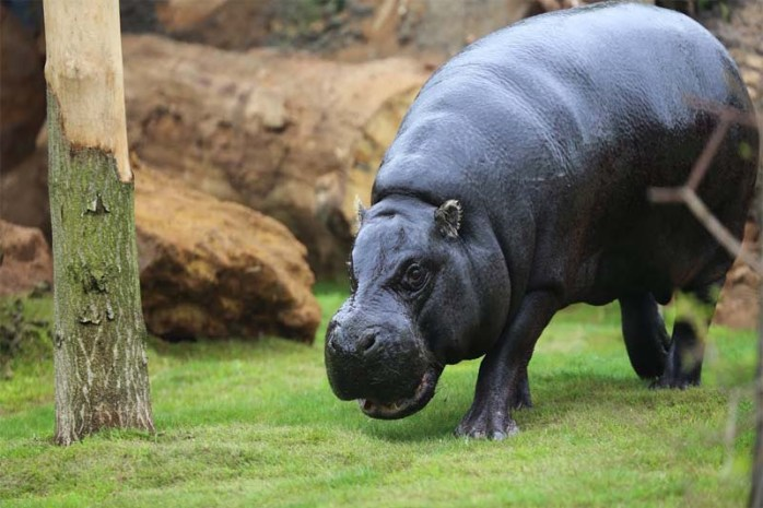 pygmy-hippopotamus