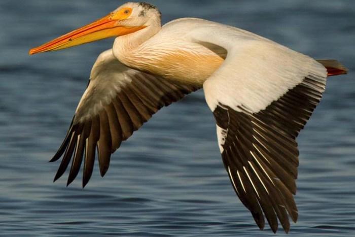 american-white-pelican-white-bird