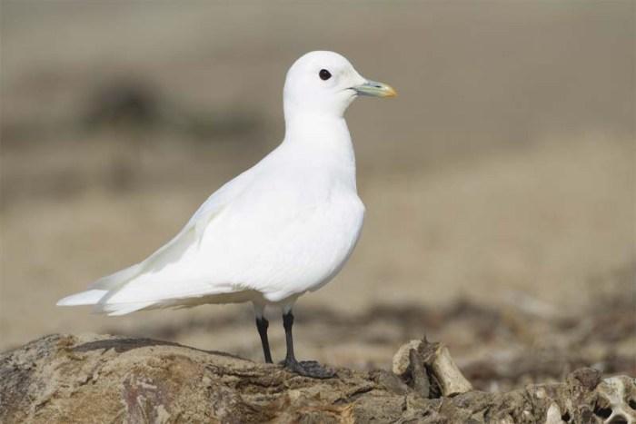 ivory-gull-white-bird