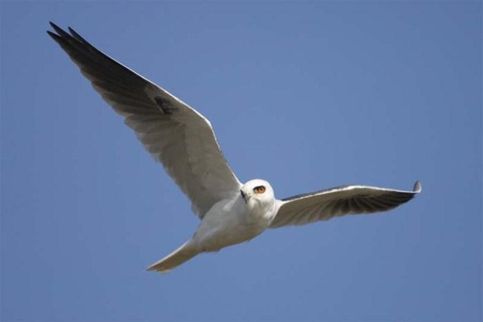 white-tailed-kite-white-bird
