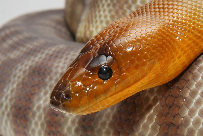 woma-python-beautiful-snake